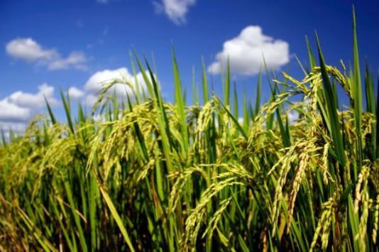 Riža ima gene osjetljive na zvuk.