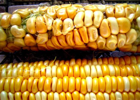 Na gornjem dijelu slike se nalazi Monsantov GMO kukuruz, a na donjem dijelu slike, je stara prirodna sorta kukuruza.