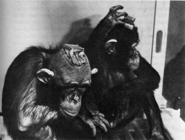 Delgadovi pokusi na majmunima. Na njihovim glavama su usađeni čipovi s kojima ih je Delgado kontrolirao.