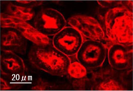 Emitiranje svjetla iz stanica nadbubrežne žlijezde štakora, biofotonika zadivljuje.