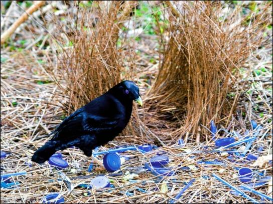 Australijska satin bowenbird uzgaja cvijeće i skuplja predmete plave i ljubičaste boje kako bi dizajnirala što ljepše gnijezdo.