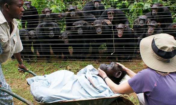 Na slici vidite čimpanze koje tuguju za urlom pripadnicom svoga čopora.