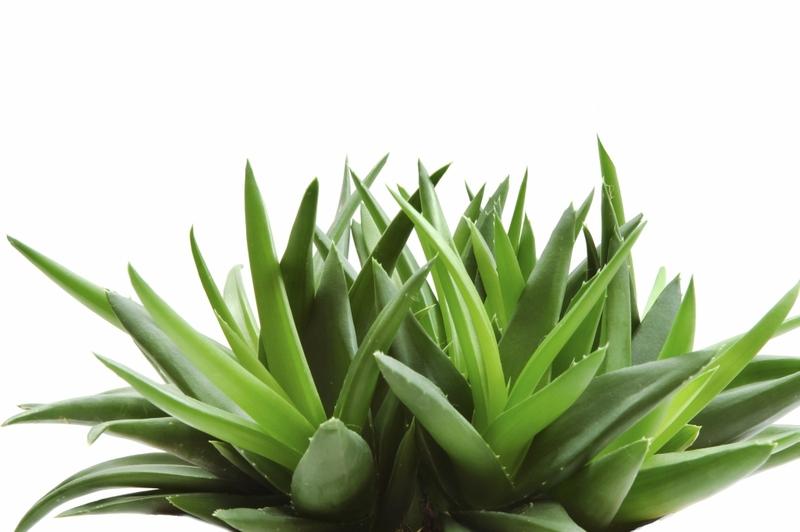 Tipična biljka Aloe vere.