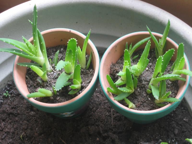 Lončanice s Aloe verom su nezahtjevne i lako se održavaju.