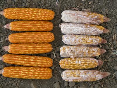 Pojava plijesni na kukuruzu. Derivati plijesni su mitotoksini koji su izuzetno štetni za ljudski organizam.