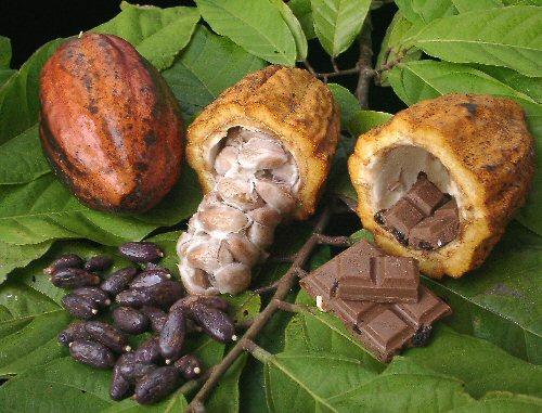 Plod i sjemenke drva kakaovca.