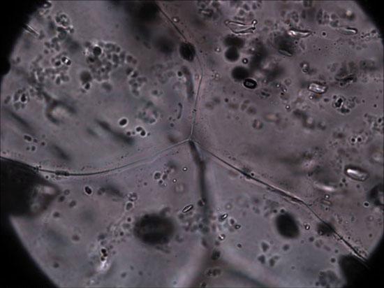 Bakterija Pseudomonas syringae, služi kao nukleus za nastajanje kristala tuče i sniježnih pahulja. Vlasništvo: Shawn Doyle and Brent Christner, Louisiana State University