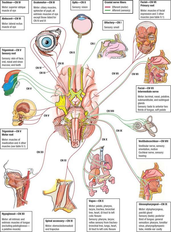 Detaljni prikaz svih XII parova kranijalnih živaca, obratite pažnju na lutajući živac ili kranijalni živac broj X.