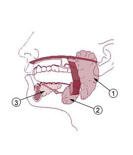 Parotidna žlijezda ili zaušna žlijezda je posebno izložena zračenju iz mobitela.