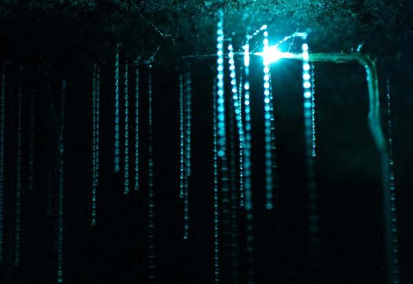 Bioluminiscentni kukac Arachnocampa luminosa i njegove ljepljive svjetleće klopke.