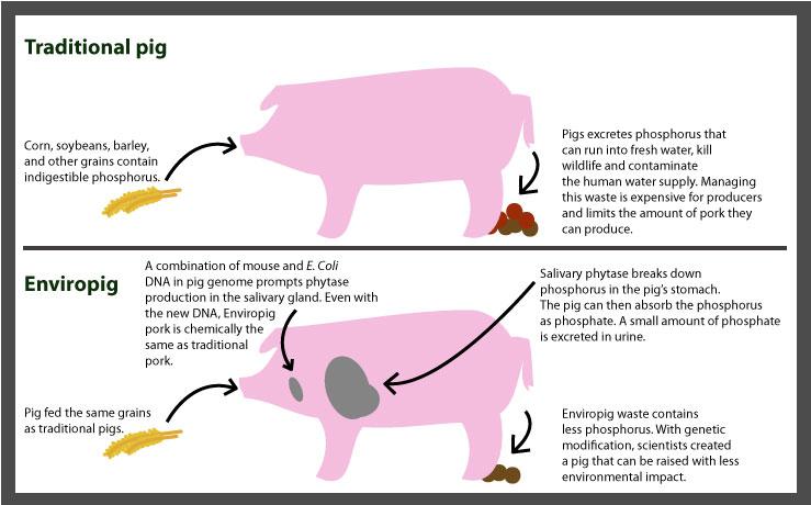 Enviropig su svinje koje su bile dizajnirane u Kanadi čiji je cilj bio da smanje zagađenje okoliša. Na sreću, ovo istraživanje nije naišlo na daljnje financiranje projekta zbog nedostatka izglednog profita. No istraživanja o projektiranju GM životinja se nastavljaju.