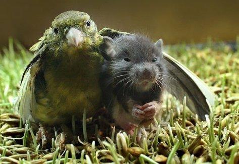 """Kućna papiga je usvojila i """"odgojila"""" štakora."""