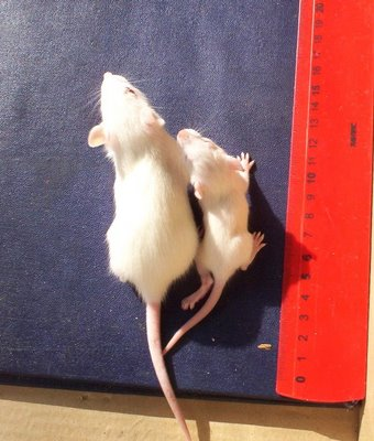 Miševi hranjeni GM žitaricama kote manji broj mladunaca, mladunci su manji rastom te imaju veću stopu smrtnosti. Želimo li to isto i našoj djeci?