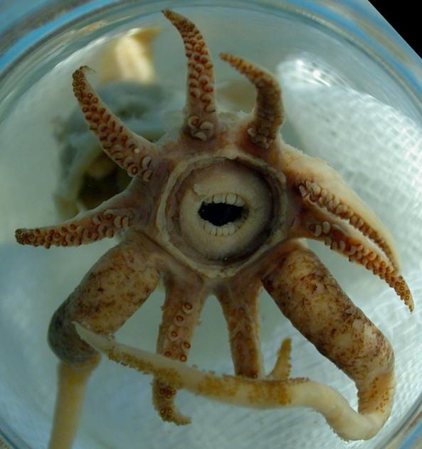 Promachoteuthis sulcus čudesna lignja s ljudskim zubima.