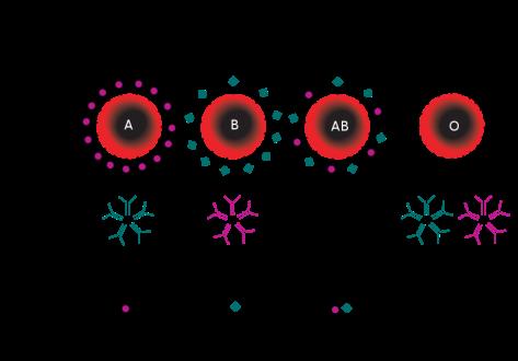 Dosadašnji prilaz antitijela u krvi je bio relativno jednostavan, s novih 600 krvnih antitijela situacija se dodatno komplicira.