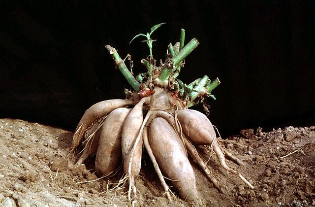 640px-Yacon_rootstock_(Smallanthus_sonchifolius)
