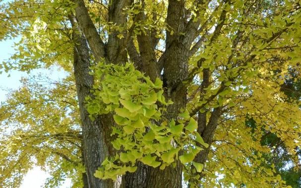 Ginko biloba je drvo čija je ljekovitost poznata od davnina.