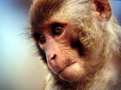 Bebe majmuna su razvile ponašanje nalik autističnom nakon ubrizgavanja uobičajenog koktela cjepiva, no majmuni i ljudi imaju neke slične karakteristike. Može li se to isto tvrditi i za miševe?