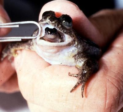 Rheobatrachus silus, izumrla vrsta žabe koja je nestala između 1975. i 1985.
