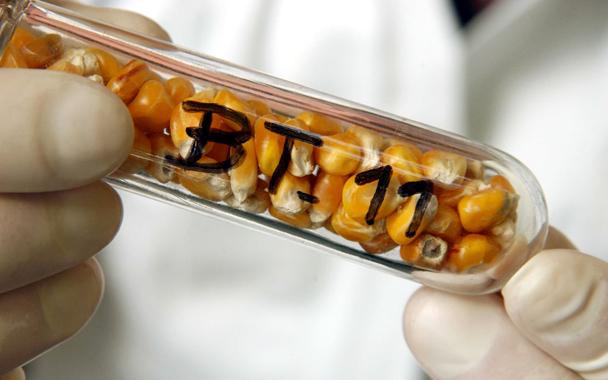 Bt kukuruz je razvijen uz pomoć transformacije cryAB forme Bacillus thuringiensisa(Bt) u žitarici. Uobičajen je u većini GM (genetski modificiranih) žitarica. Zastrašujuće je da je ovaj toksin je detektiran kod trudnica, njihovih fetusa i kod žena koje nisu trudne.