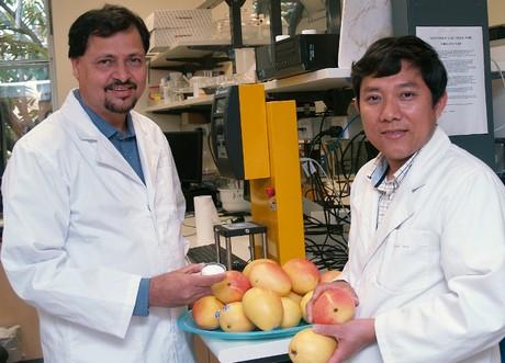 Profesor Bhesh Bhandari i znanstveni novak g. Binh Ho, sa Sveučilišta u Queenslandu, razvili su tehnologiju koja će dramatično poboljšati sigurnost, učinkovitost i trud koji su uključeni u kontroliranom dozrijevanju voća.