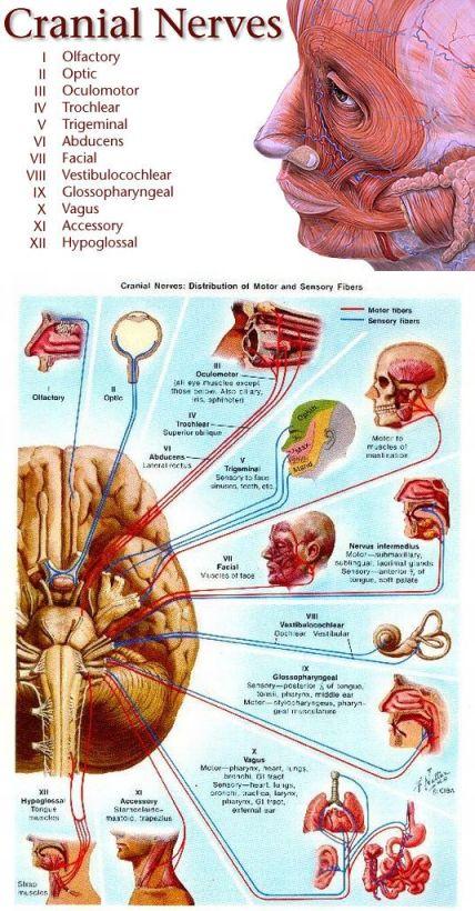 """Skupina kranijalnih živaca, obratite pažnju na deseti nerv iz ove obitelji koji je poznat pod nazivom, """"nervus vagus"""" ili lutajući živac."""