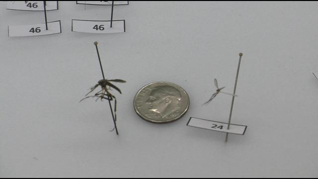 Zamislite da vas ugrize komarac duljine 2,5 centimetara?