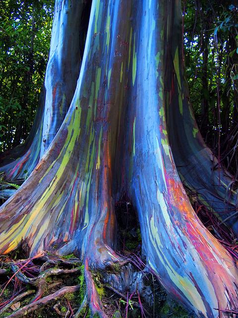 Eukaliptusi s korom duginih boja.