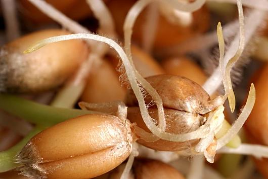 Pšenične klice su izvr odličnog ulja za zaštitu svih vrsta kože.