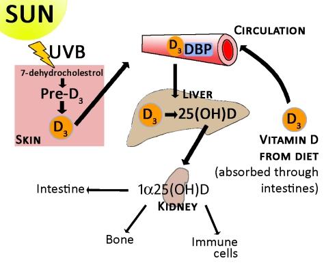 Bez sunca nema UVB zraka, koje stvaraju vitamon D, koji pak uvjetuje održanje našeg zdravlja i efektnost imunološkog sustava.