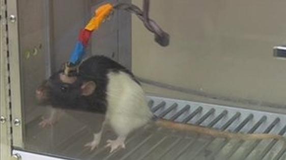 Jezivo moždano sučelje s kojim su misli s jednog štakora prešle u mozak drugog štakora.