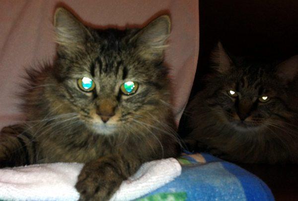 Tipično reflektiranje svijetla u mačjim očima. Ne postoji ni jedna jedina genetička mutacija koja bi omogućila formiranje funkcionalnog tapetuma luciduma kod ljudi.