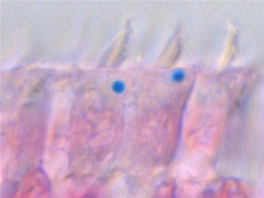 Slika prikazuje stanice iz unutarnjeg uha golubova obojenih kemikalijom koja pretvara željezo u svijetlo plavu boju.