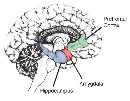 Meditacija utječe na amigdalu i može pomoći u jačanju pamćenja. Ovaj značajan dio endokrinog sustava utječe na procesuiranje emocija i pamćenja te iznimno snažno reagira na negativne i pozitivne stimulanse.