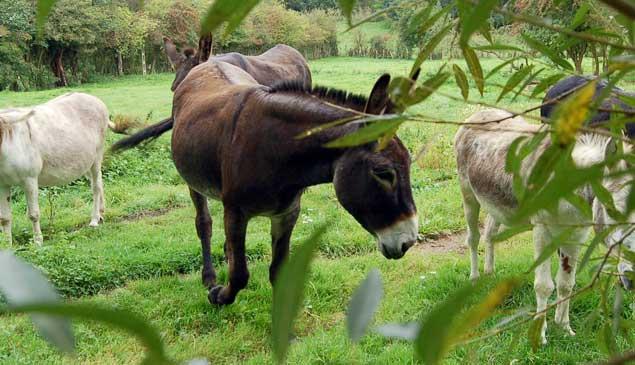pule-cheese-donkey