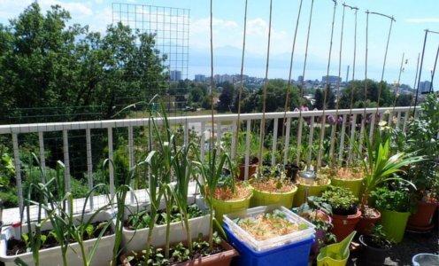 Svoj vlastiti češnjak možete uzgojiti i na balkonu ili terasi.