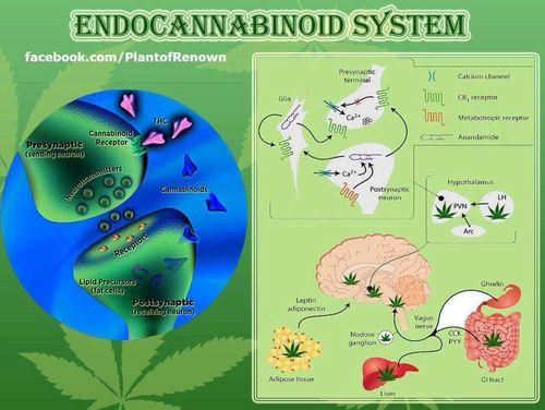 Istraživanje o učincima marihuane izravno je dovelo do otkrića molekularnog signalnog sustava u ljudskom mozgu i tijelu - endokanabinoidnog sustava, koji igra važnu ulogu u reguliranju širokog spektra fizioloških procesa.