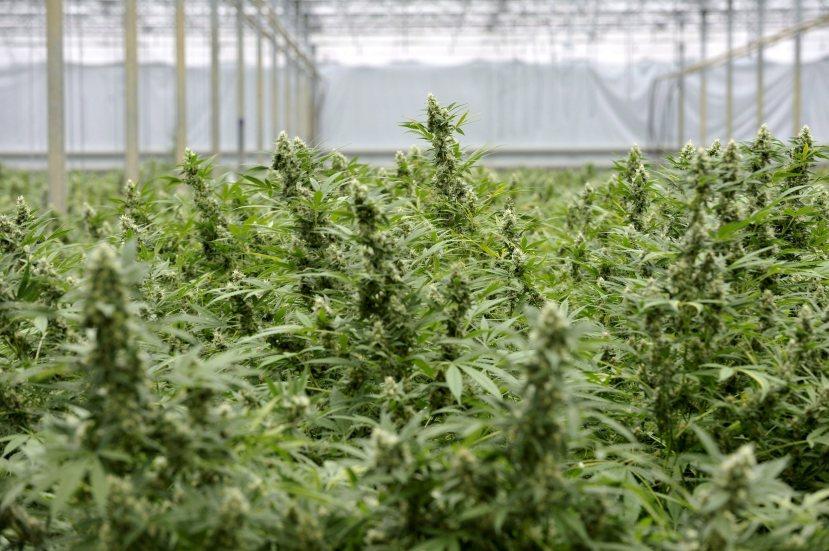 Hoće li kanabis uskoro postati jedna od najtraženijih medicinskih biljaka?