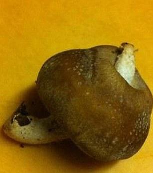 Radijacija utječe na rast gljiva iako su izrasle izvan navodne zone opasnosti.