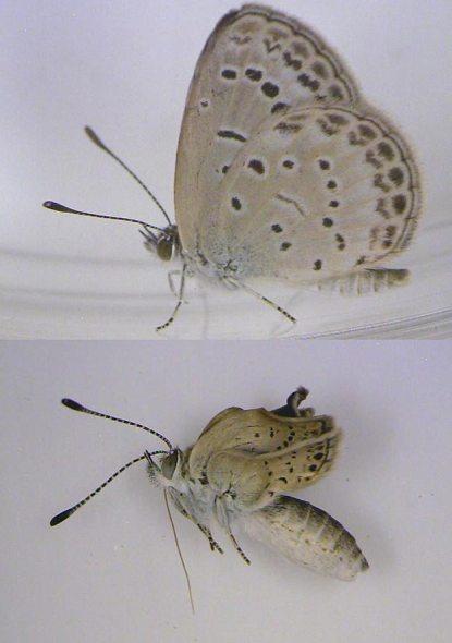 Mutirani leptiri Japana, radijacija čini svoje, na donsjoj slici vidite odraslog leptira s poremećenim krilima i anomalijama na očima.