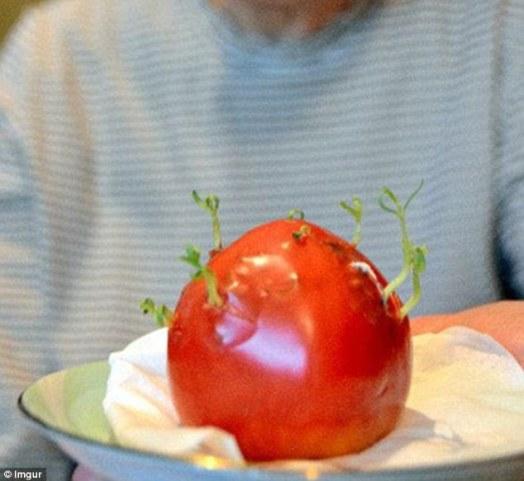 Japanci sve češće imaju proliku vidjeti promjene na urodu voća i povrća, na slici vidite mutaciju na rajčici koja je narasla izvan zone opasnosti.
