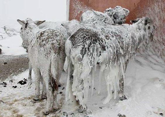 Ledom okovani magarci u Turskoj, slika je snimljena krajem 2013. pa ipak SAD je bio u centsu pozornosti dok se o ledu i snijegu u drugim krajevima svijeta malo ili nimalo piše i govori.