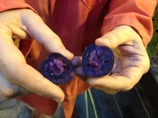Biste li vi pristali na konzumaciju ove GM rajčice čije zdravstvene prednosti nisu ni ispitane, i dok istovremeno znate koje su štetne posljedice konzumacije GMO-a?