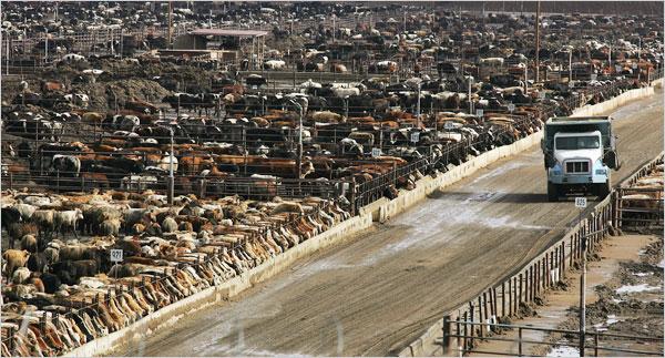 Ćivotinje iz masovnog, industrijskog uzgoja, osim što se uzgajaju u ne humanim uvjetima, predstavljaju strašnu opasnost po naše zdravlje. Hrane se stočnom GMO hranom s raznim otpadima animalnog porijekla i pesticidima, pumpaju se hormonima rasta te antibioticima.