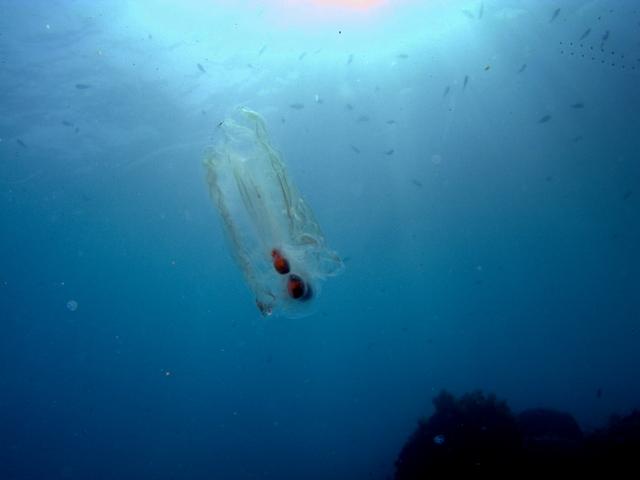 Samotni primjerak salpe maxime u moru.