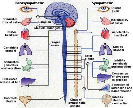 Učinci parasimpatičkog i simpatičkog nervnog sistema. Obratite pažnju da kranijalni živci direktno utječu na parasimpatički nervni sistem točnije na smirivanje većine tjelesnih funkcija.