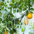 Florida, ledom okovane plantaže limuna