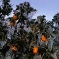 Floridski limuni okovani ledom