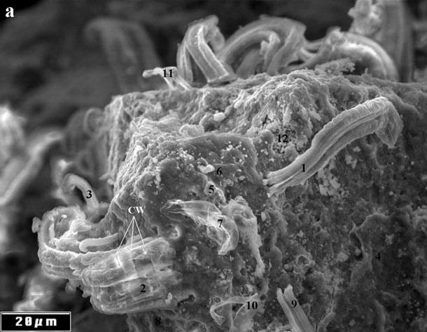 Cijanobakterije iz meteorita koje je ispitivao Richard Hoover.