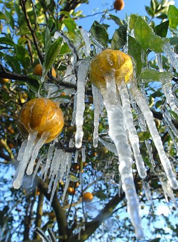 Zaleđeni agrumi snimljeni na Floridi prošle godine usred zime, na žalost povijest se ponovila ovaj put i to sredinom studenog.